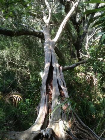 Fallen Cedar Tree